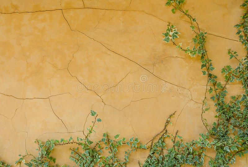 黄色墙壁和常春藤 免版税库存图片