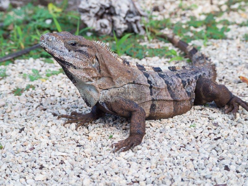 黑色多刺被盯梢的鬣鳞蜥特写镜头,墨西哥 免版税库存图片