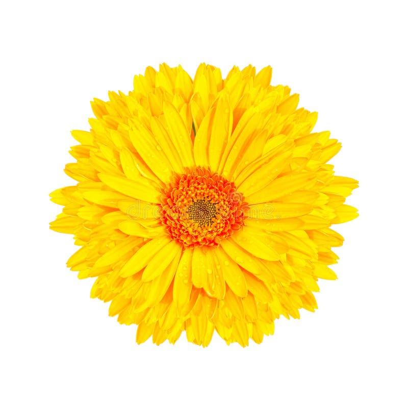 黄色大丁草花被隔绝的白色背景 免版税图库摄影