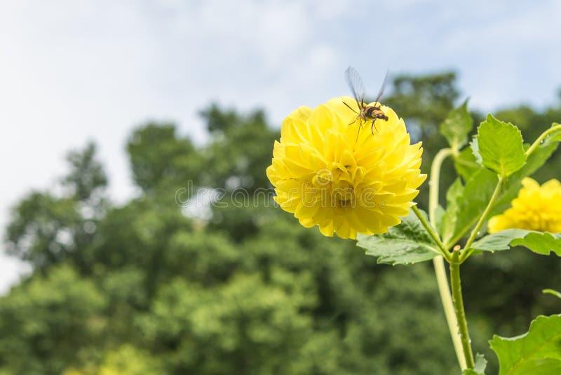 黄色大丽花花和蜜蜂饲养 库存图片