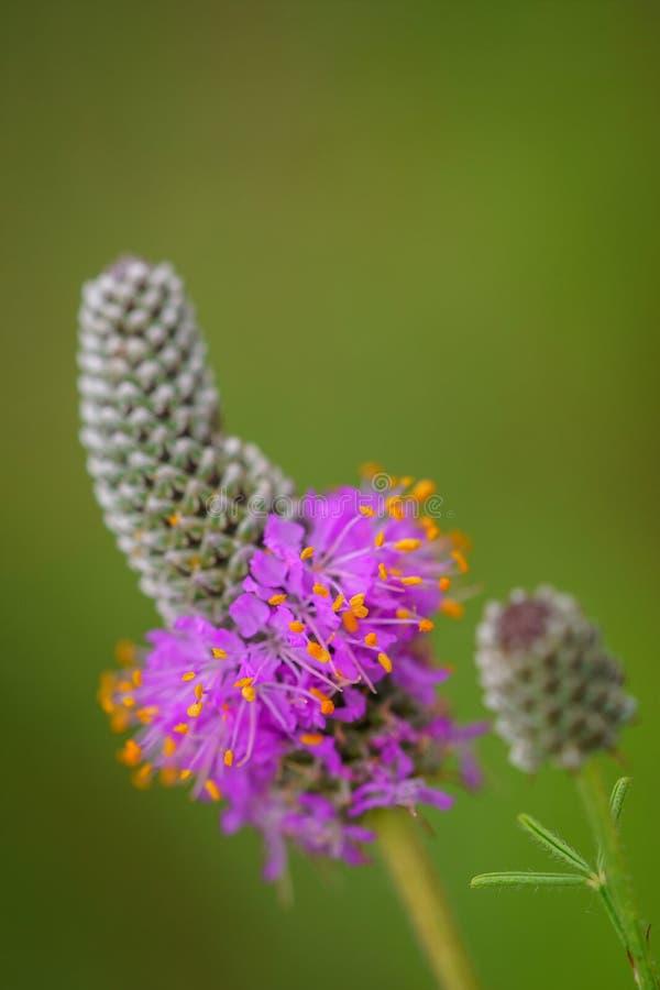 紫色大草原三叶草-达列亚purpurea 免版税库存照片