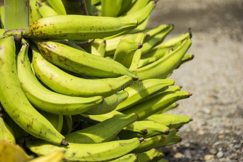 绿色大蕉或maduro 免版税库存照片