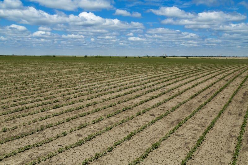 绿色大豆植物生长的领域 免版税图库摄影