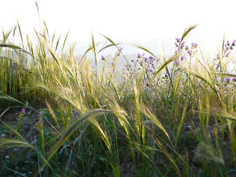 绿色大麦 免版税库存照片