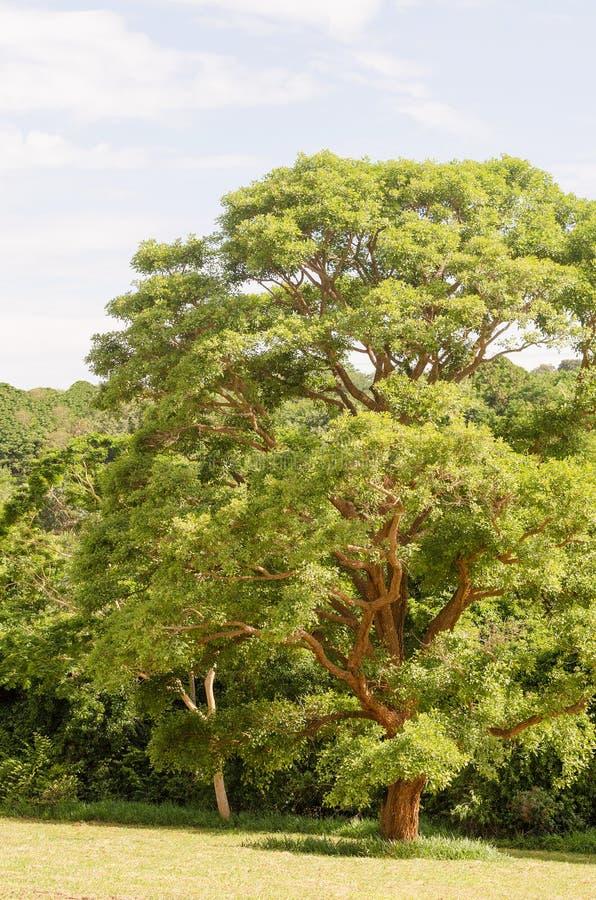 绿色大结构树 免版税库存图片