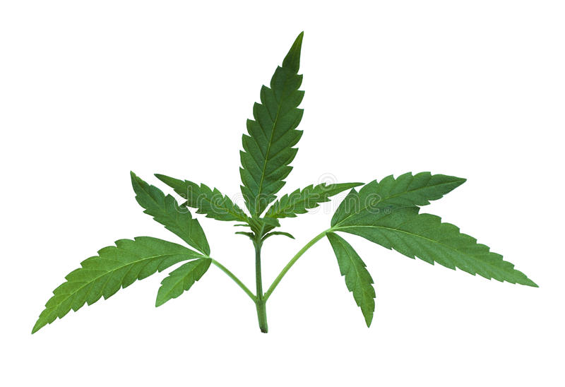绿色大麻花离开细节 皇族释放例证