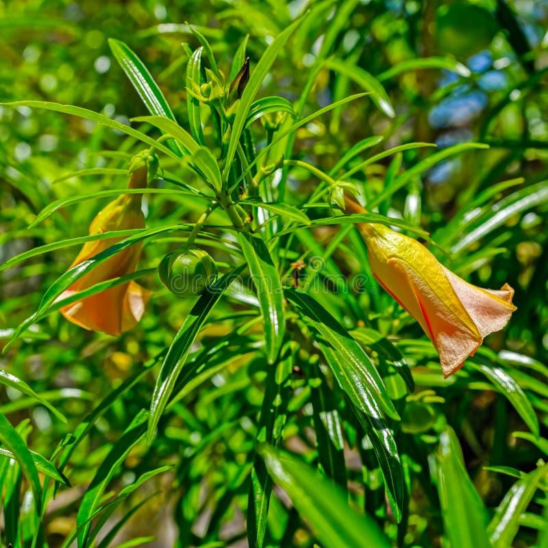 黄色夹竹桃幸运的豆和喇叭花 库存照片