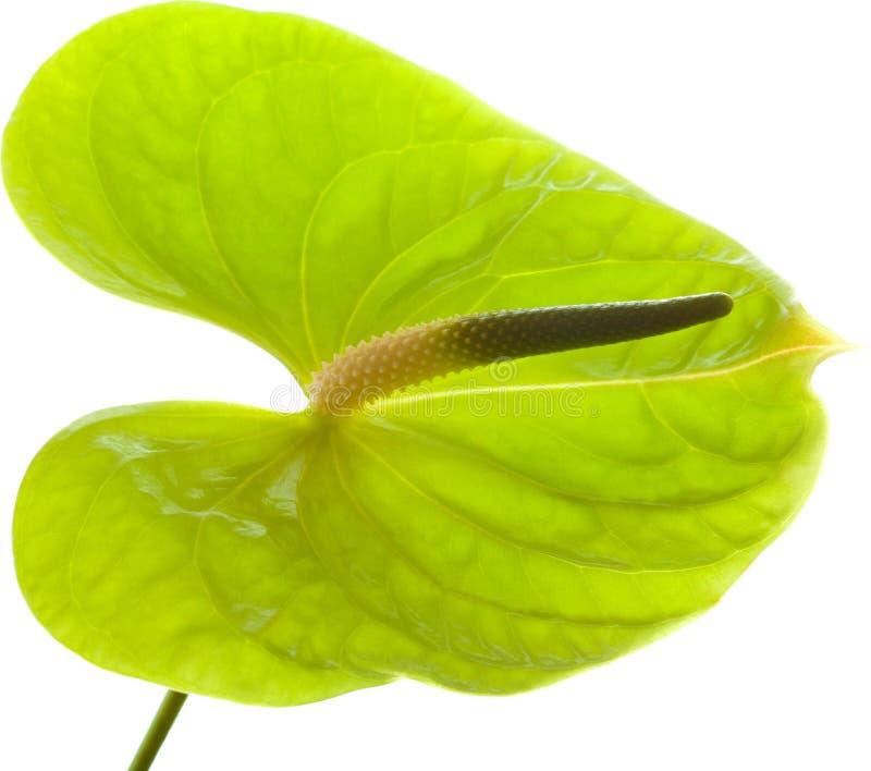 绿色安祖花, 图库摄影