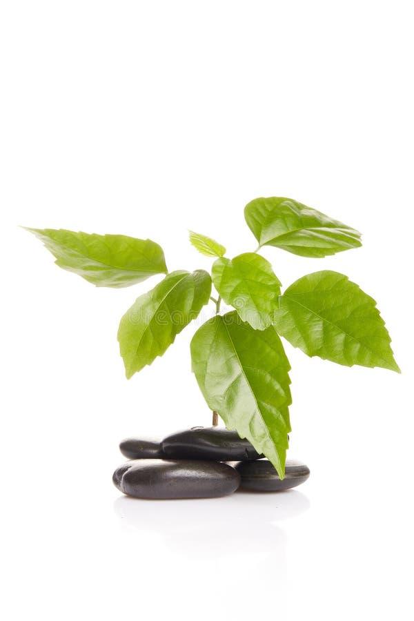 绿色小的新芽石头 库存图片