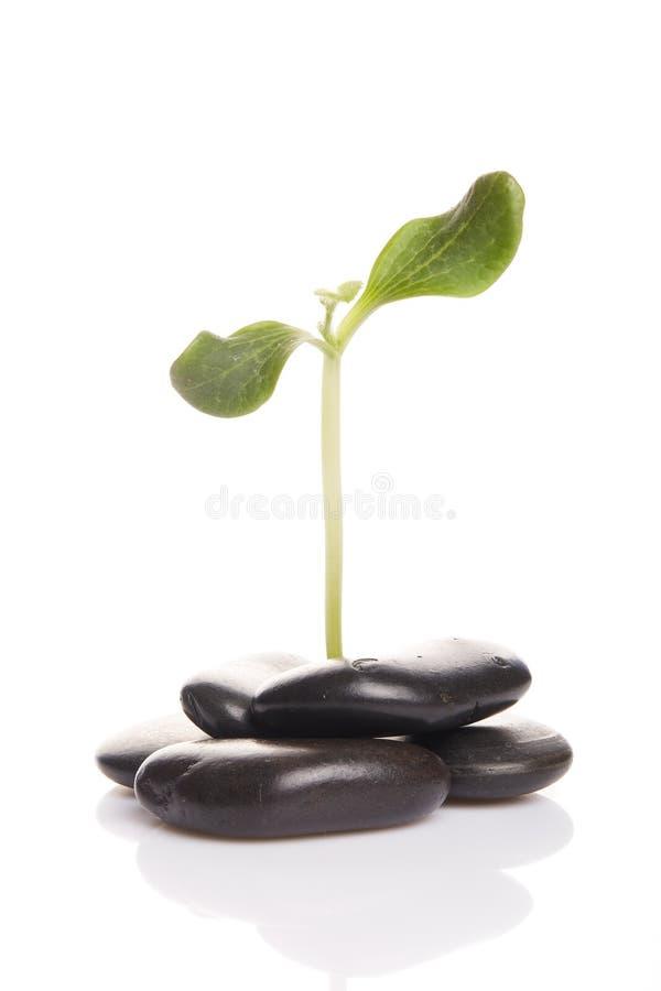 绿色小的新芽石头 免版税库存照片