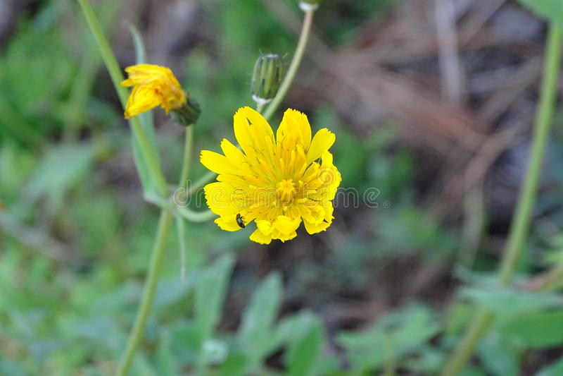 黄色小�{�p_黄色小美丽的花在森林里