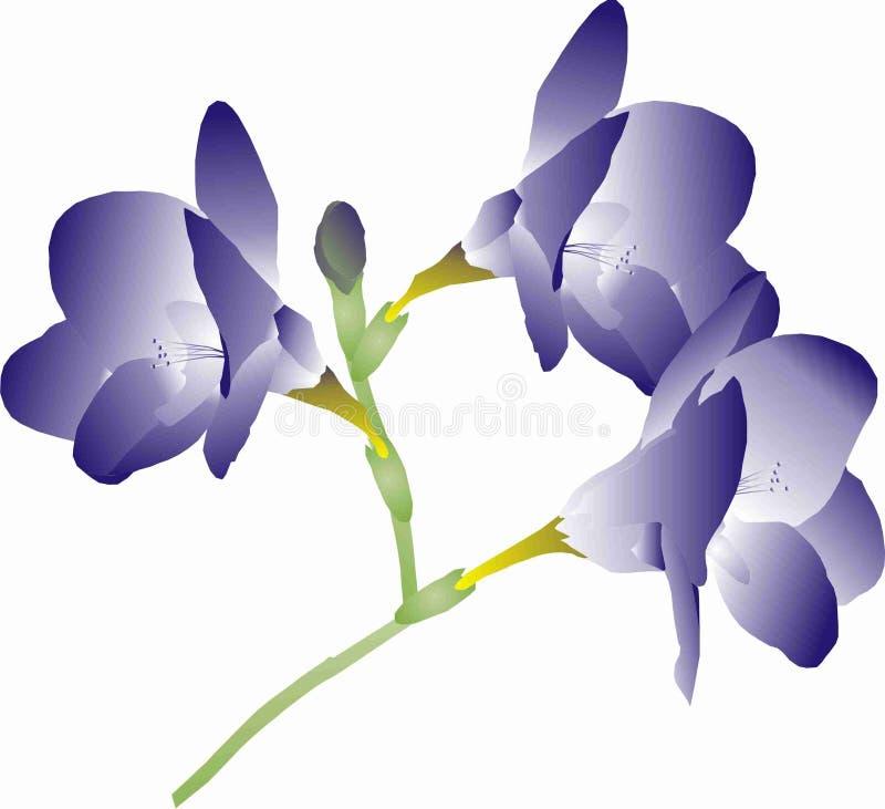 紫色小苍兰 库存照片