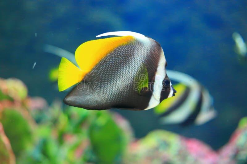 黄色尾巴蝴蝶鱼 图库摄影