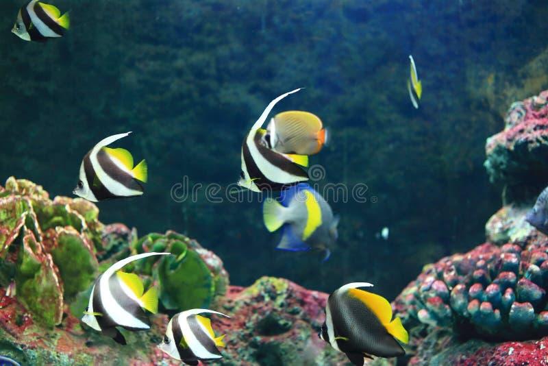 黄色尾巴蝴蝶鱼 库存图片