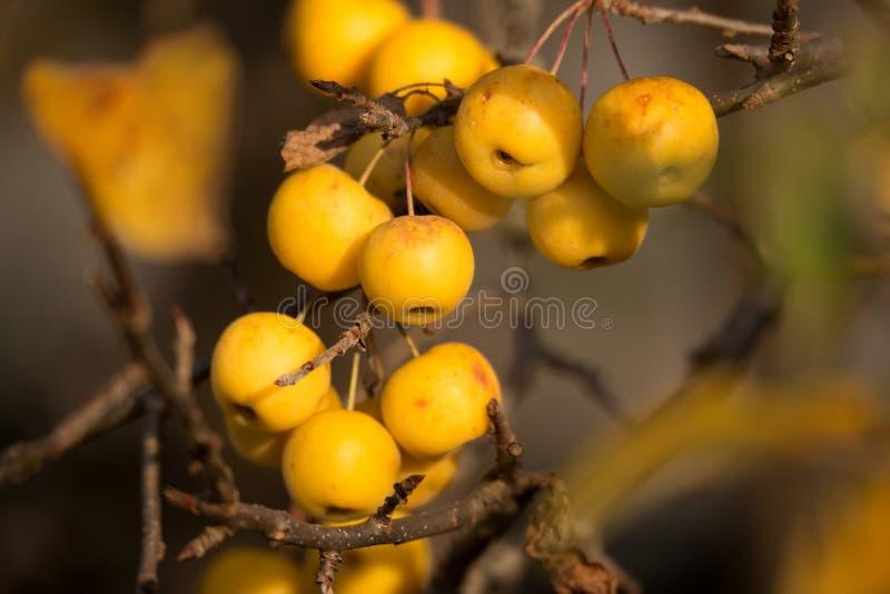 黄色山楂子金黄大黄蜂 免版税库存照片