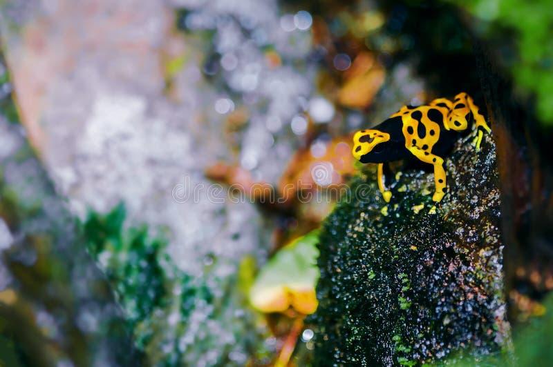 黄色带头的毒物箭青蛙在它的自然生态环境 免版税库存照片
