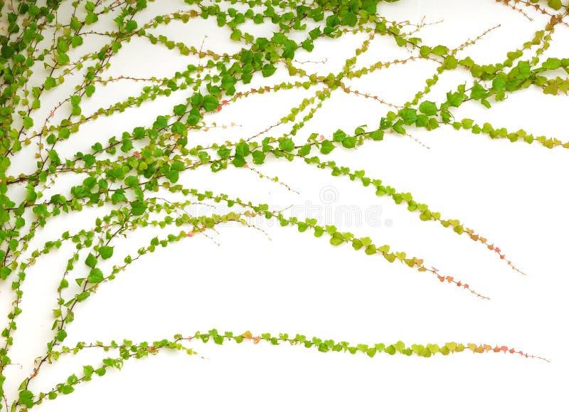 绿色常春藤 免版税库存图片