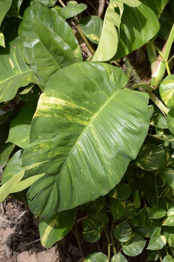 绿色常绿藤本植物aureum植物在自然庭院里 图库摄影