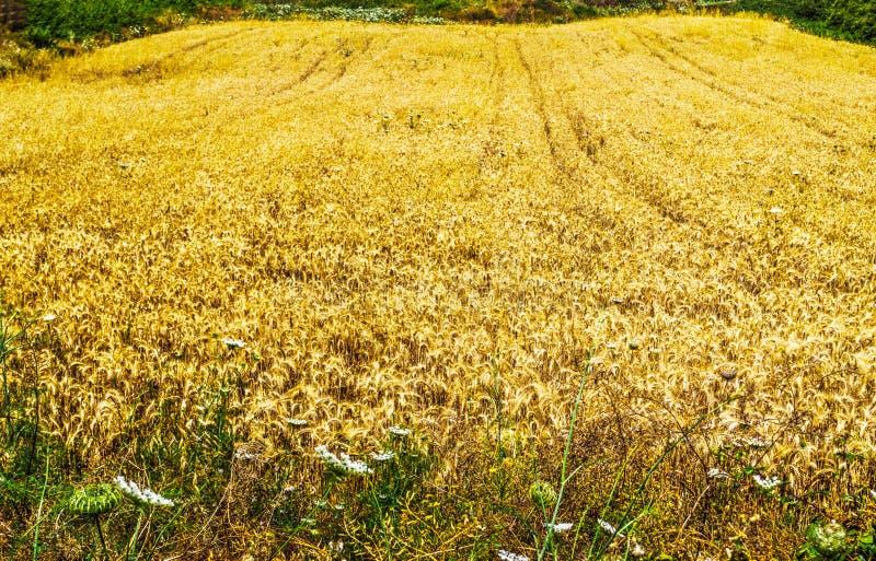 黄色干草领域在撒丁岛 库存照片