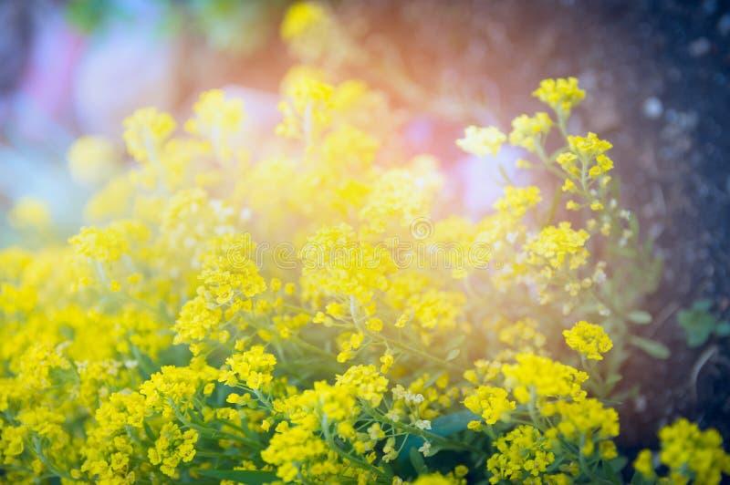 黄色庭院在日落光,室外自然背景开花 库存图片