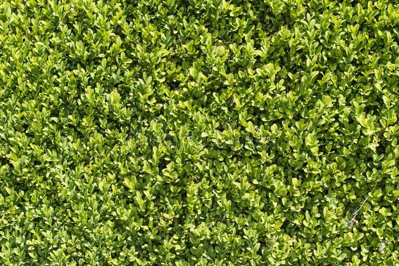 绿色庭院树篱表面 库存图片