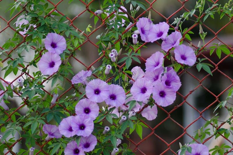 紫色开花在篱芭A星的番薯属Cairica美好的绽放 免版税库存照片