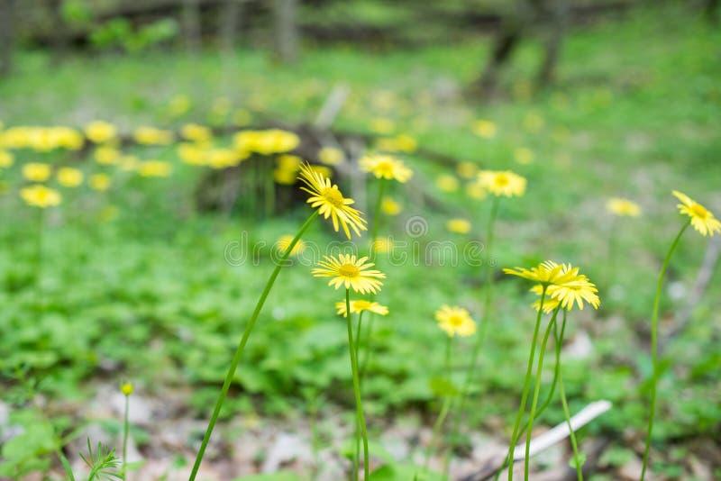 黄色开花多榔菊属植物 库存图片