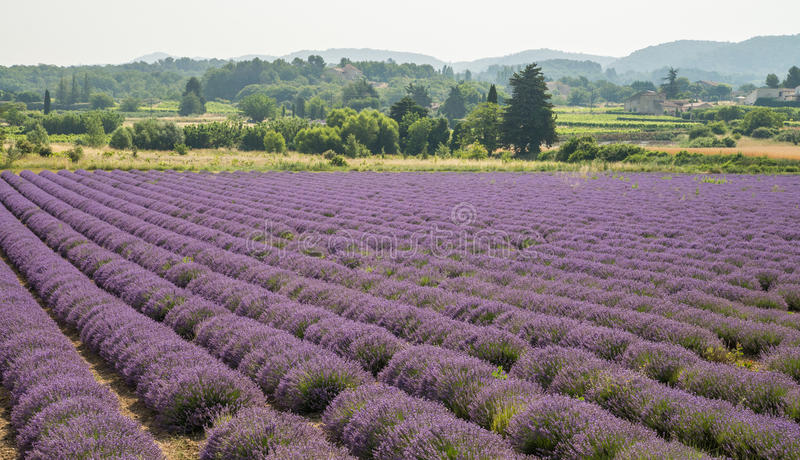 紫色开花的淡紫色领域在法国的普罗旺斯地区 免版税库存照片