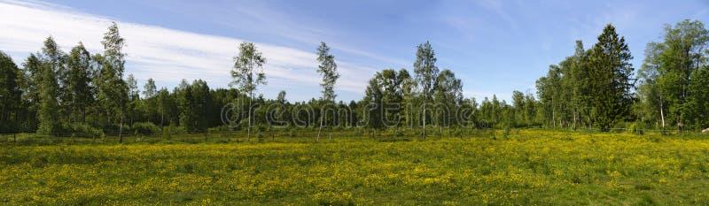 黄色开花的草甸在瑞典 免版税库存照片