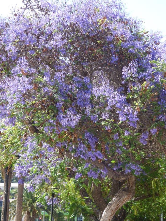 紫色开花Ovalle,智利 库存图片