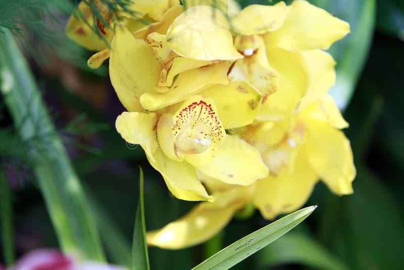 黄色异乎寻常的兰花 库存照片