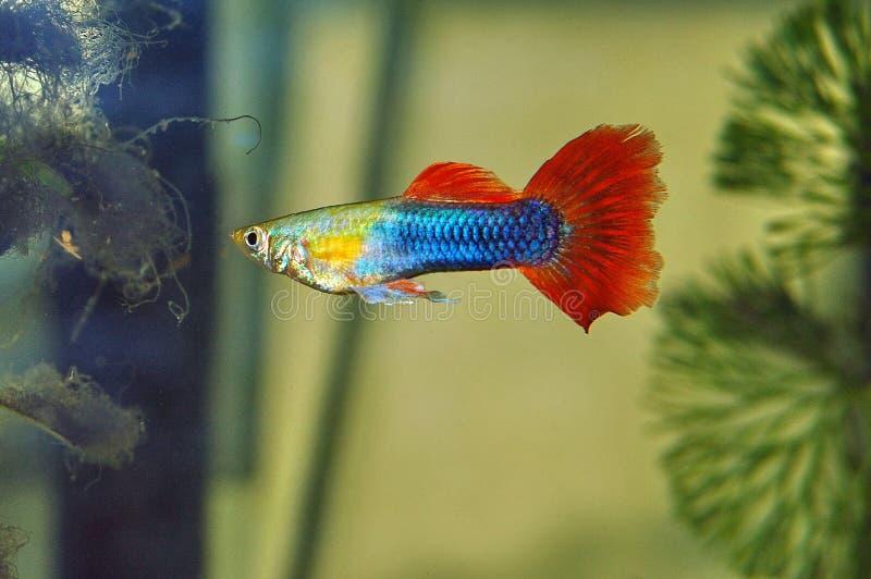 色彩艳丽的胎生小鱼