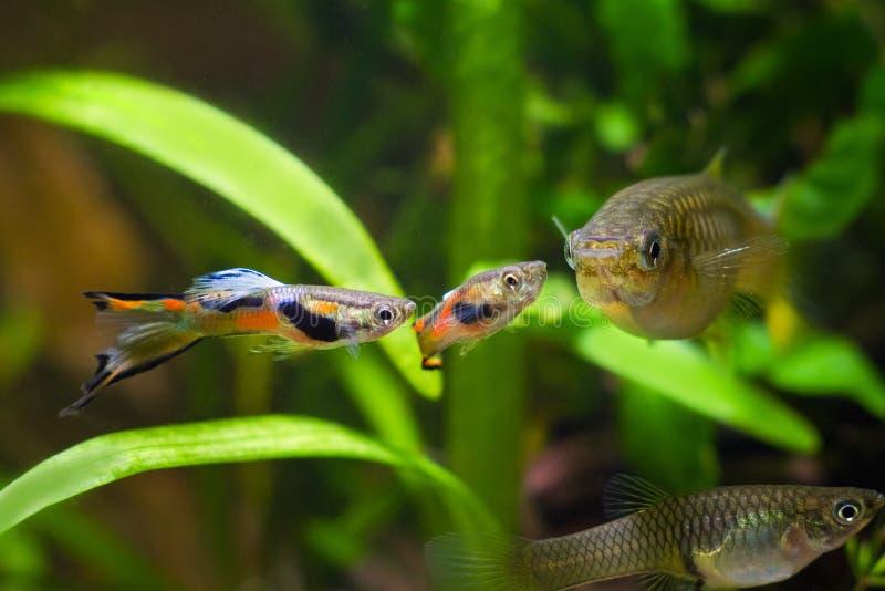 色彩艳丽的胎生小鱼endler、Poecilia wingei、淡水水族馆鱼、男性在产生的着色和女性,求爱,群落生境水族馆 库存照片
