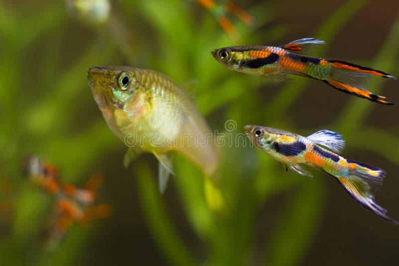 色彩艳丽的胎生小鱼endler、Poecilia wingei、淡水水族馆鱼、男性在产生的着色和女性,求爱,群落生境水族馆 免版税图库摄影