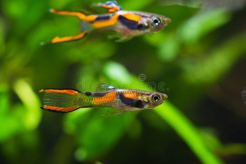 色彩艳丽的胎生小鱼endler,Poecilia wingei,淡水水族馆鱼,在明亮的拉古纳Campoma着色的男性,群落生境水族馆 库存图片