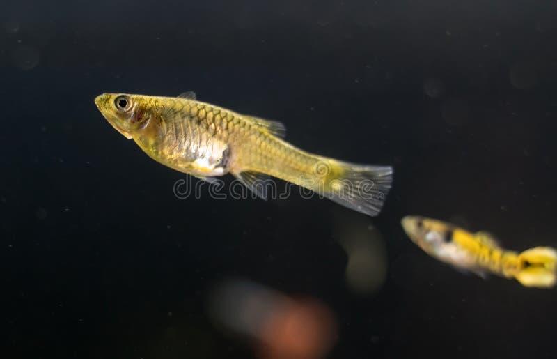色彩艳丽的胎生小鱼endler 库存照片