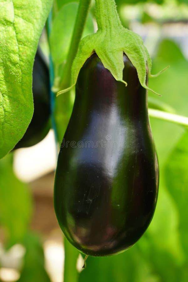 紫色意大利茄子(茄子) 库存照片