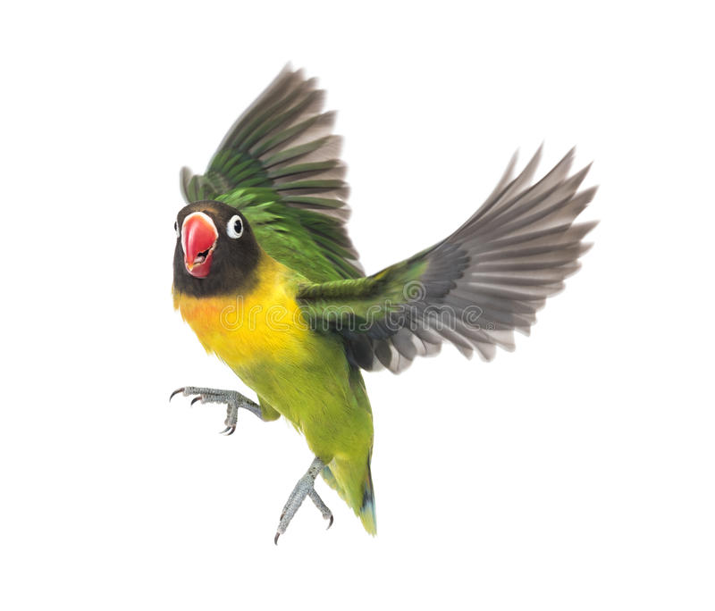 黄色抓住衣领口的爱情鸟飞行,被隔绝 库存照片