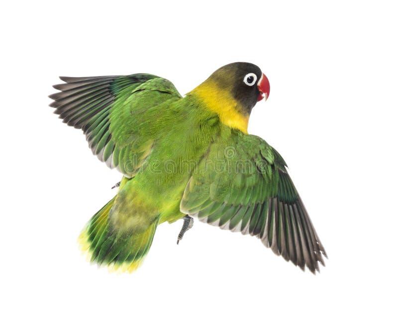 黄色抓住衣领口的爱情鸟飞行,被隔绝 免版税库存照片
