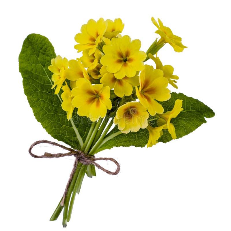 黄色报春花花束,隔绝在白色背景 免版税库存图片