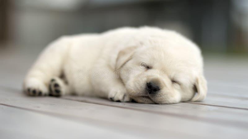 黄色拉布拉多小狗睡觉 图库摄影