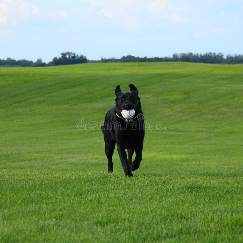黑色拉布拉多猎犬 库存图片