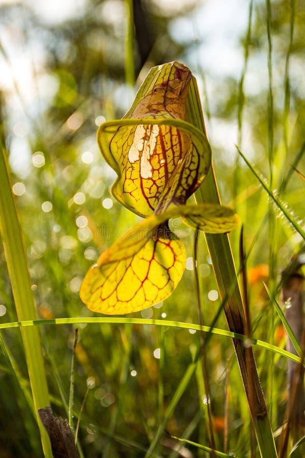 黄色捕虫草日出 库存图片