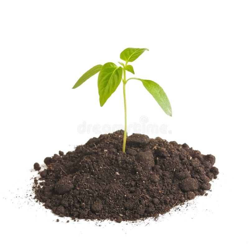 绿色新芽种植生长从土壤堆,隔绝在白色背景 生态和希望 免版税库存图片