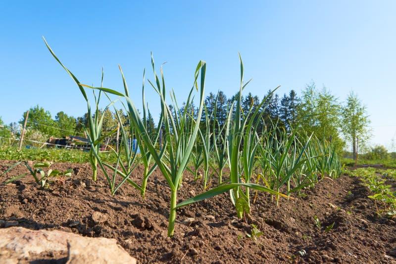 绿色新鲜的行大蒜看法在庭院床把生长留在 库存图片