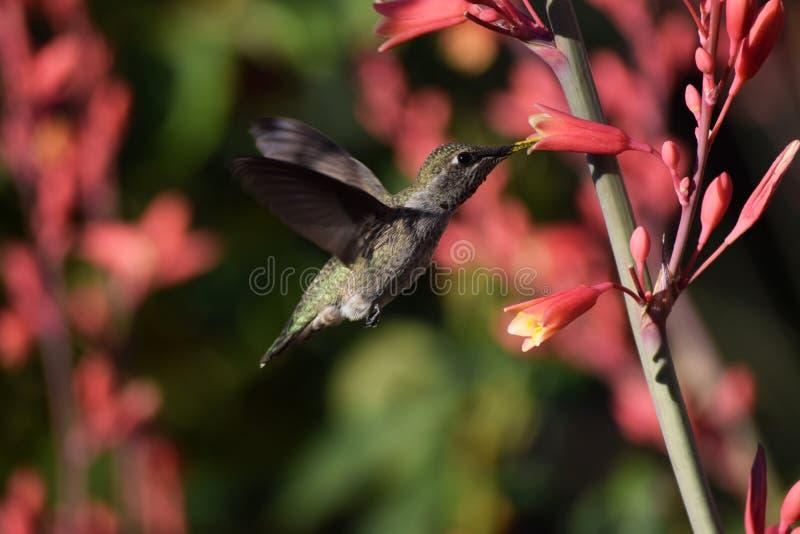 绿色早晨蜂鸟哺养 免版税库存照片