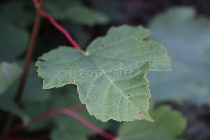 绿色昆虫被咬住的叶子在焦点 免版税库存照片