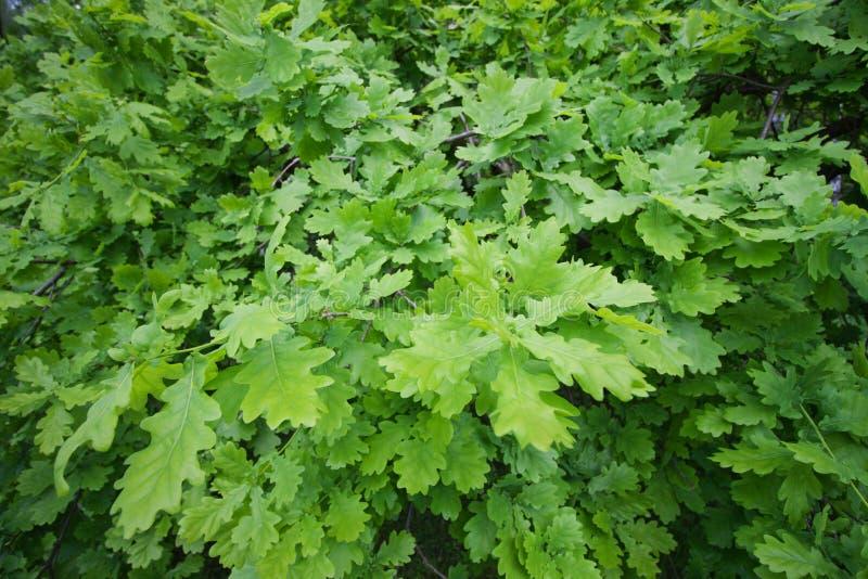 绿色明亮的橡木叶子 背景概念能源图象 免版税库存图片