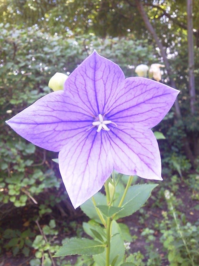 紫色星花 免版税库存图片
