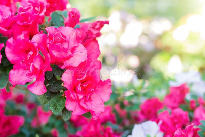 紫色春天开花杜娟花 图库摄影